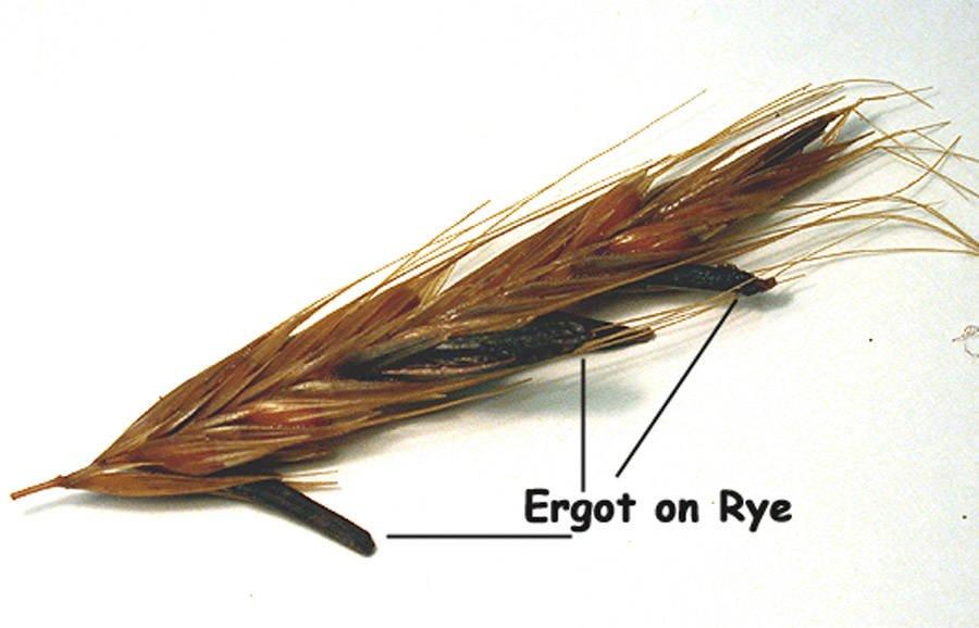 Ergot on Rye