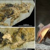 Psittacosaurus fossil reveals how dinosaur peed, pooped had sex and laid eggs