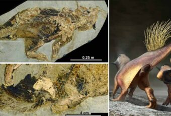 Psittacosaurus fossil reveals how dinosaur peed, pooped had sex and laid eggs
