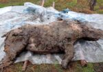50,000-Year-Old Woolly Rhino With Its Last Meal Still Intact Found In Siberian Permafrost