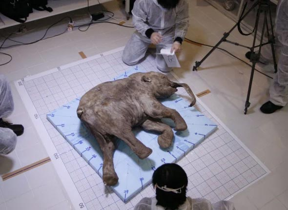Lyuba's body has been colonized by lactic acid-producing bacteria after her death, preserving her in near-perfect condition. The scientists were able to identify milk from her mother in her stomach and fecal matter in her intestine.