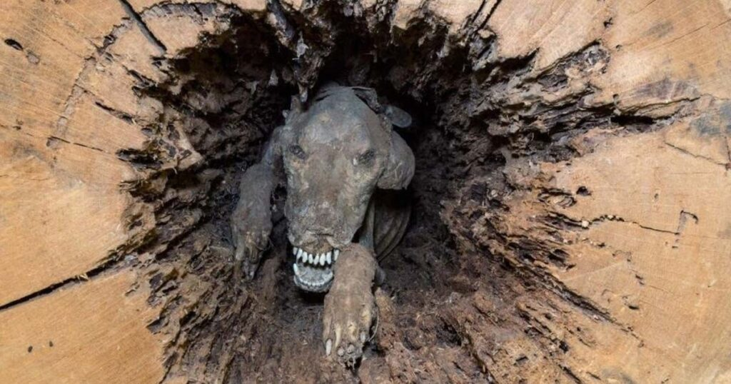 Stuckie - the Mummified dog, Stuckie was likely stuck in the tree in 1960 while trying to catch a raccoon.
