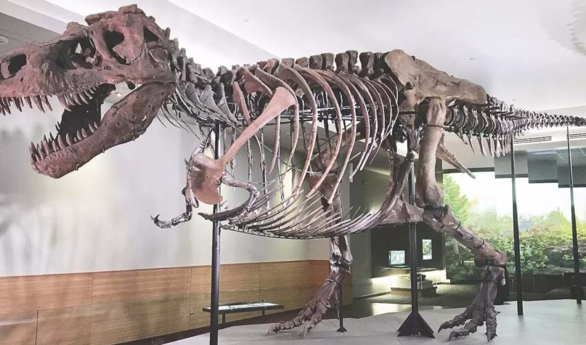 Meet 'Sue'; One of the Largest, Most Extensive and Best Preserved Tyrannosaurus Rex Specimen Ever Found